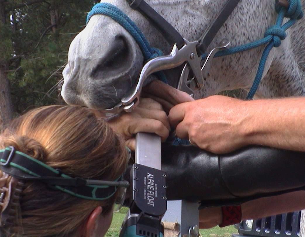 Horse Dentistry , Molar Grinding